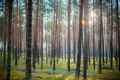 Solsken i skog Fotografering för Bildbyråer