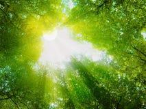 Solsken i skogen Arkivbild