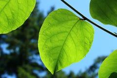 Solsken på gröna blad på en filial Royaltyfria Foton