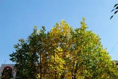 Solsken på poppelträd arkivfoto