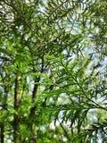 Solsken till och med det barrträds- bladet royaltyfri foto
