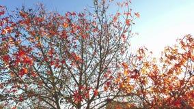 Solsken till och med sidor, färgrika träd och att kvittra för fågel stock video