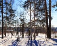 solsken till och med träden övervintrar skogen Ryssland royaltyfri foto