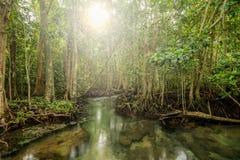 Solskensignalljus i mangroveskog på Tha Pom, Krabi Thailand Arkivbild