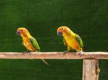 solstitialis Aratinga πουλιών παπαγάλων conure ήλιων που στέκονται την πέρκα στον κλάδο Στοκ εικόνες με δικαίωμα ελεύθερης χρήσης