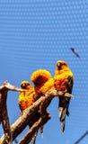 Solstitialis Aratinga conure ήλιων parakeet Στοκ φωτογραφία με δικαίωμα ελεύθερης χρήσης