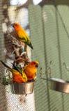 Solstitialis Aratinga conure ήλιων parakeet Στοκ φωτογραφίες με δικαίωμα ελεύθερης χρήσης