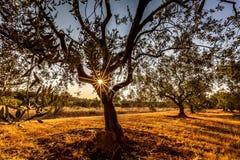 Solstjärna till och med trädet Royaltyfria Bilder