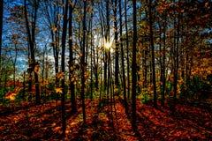 Solstjärnor till och med skogen arkivfoton