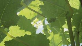 Solstrålar gör deras väg till och med sidorna av vinrankan Ljus solig dag! stock video