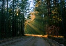 Solstrålar häller till och med träd i natur för höstskogBelorussian Royaltyfria Foton