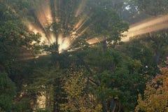 Solstrålar i Autumn Forest Arkivfoto
