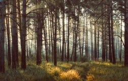 Solstrålar i den dimmiga skogen Arkivfoton