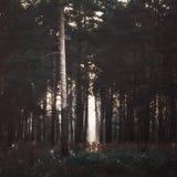 Solstrålar i den mörka skogen Royaltyfri Foto