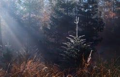 Solstrålar i dimmig höstskog Arkivfoto