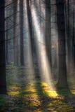 Solstrålar i en mörk skog royaltyfria foton