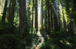 Solstrålar i en storartad redwoodträdskog royaltyfria bilder