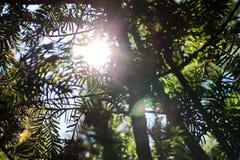 Solstrålar i granträdet Arkivbilder
