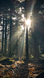 Solstrålar i mörk skog Royaltyfria Foton