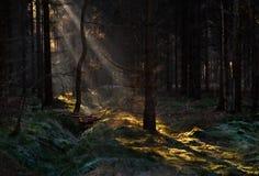 Solstrålar i pinjeskog fotografering för bildbyråer