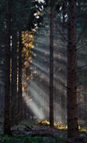 Solstrålar i pinjeskog royaltyfria bilder
