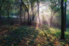 Solstrålar i tyst skog arkivfoto