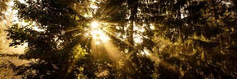 Solstrålar mellan mörka granar, panorama royaltyfri bild