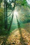 Solstrålar mellan träd i skog Arkivfoto
