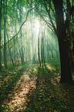 Solstrålar mellan träd i skog Royaltyfri Bild