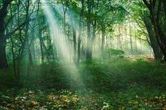 Solstrålar mellan träd i skog Arkivbilder