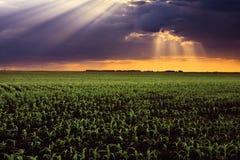 Solstrålar ovanför cornfieldsna. Fotografering för Bildbyråer