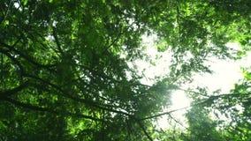 Solstrålar skiner till och med trädfilialer på sommar leaves för acaciabakgrundsgreen lager videofilmer