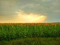 Solstrålar som kramar fältet av blommor arkivbilder
