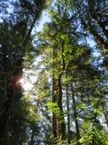 Solstrålar till och med högväxta träd arkivbild