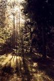 Solstrålarna skiner till och med träden i skogen arkivfoto