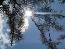 Solstråle till och med träden Royaltyfria Bilder