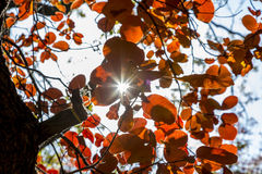 Solstrålen tränger igenom busken av röda höstsidor Arkivbild