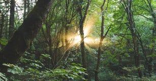 Solstrålsken till och med skogen Royaltyfri Foto