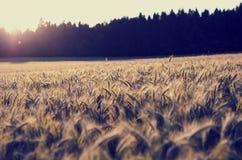 Soluppgång över ett fält av att mogna öron av vete Arkivfoton