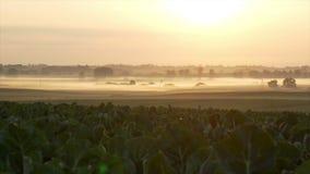 Soluppgång över ett fält av blomkålen stock video