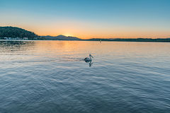 Soluppgång över fjärden med pelikan arkivfoto