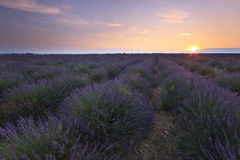 Soluppgång över lavendelfältet - Valensole Royaltyfri Fotografi