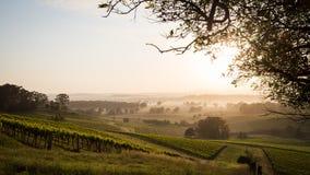 Soluppgång över vingård Royaltyfria Bilder