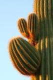 soluppgång för kaktuscloseupsaguaro arkivfoton