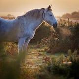 Soluppgång för morgon för ny vit ponnyinhalation för skog dimmig Arkivbild