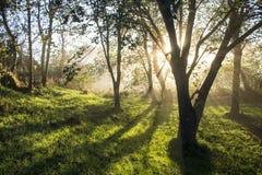 Soluppgång i dimmiga träd Royaltyfria Bilder
