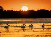 Soluppgång i Donaudelta med närliggande pelikan royaltyfri foto
