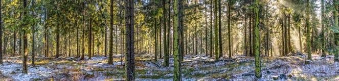 Soluppgång i otta i skogen med den ljusa solstrålen fotografering för bildbyråer