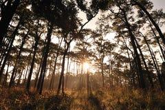 Soluppgång i pinjeskogar Arkivfoton