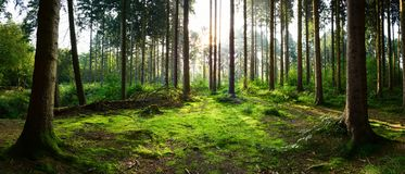 Soluppgång i skogen fotografering för bildbyråer
